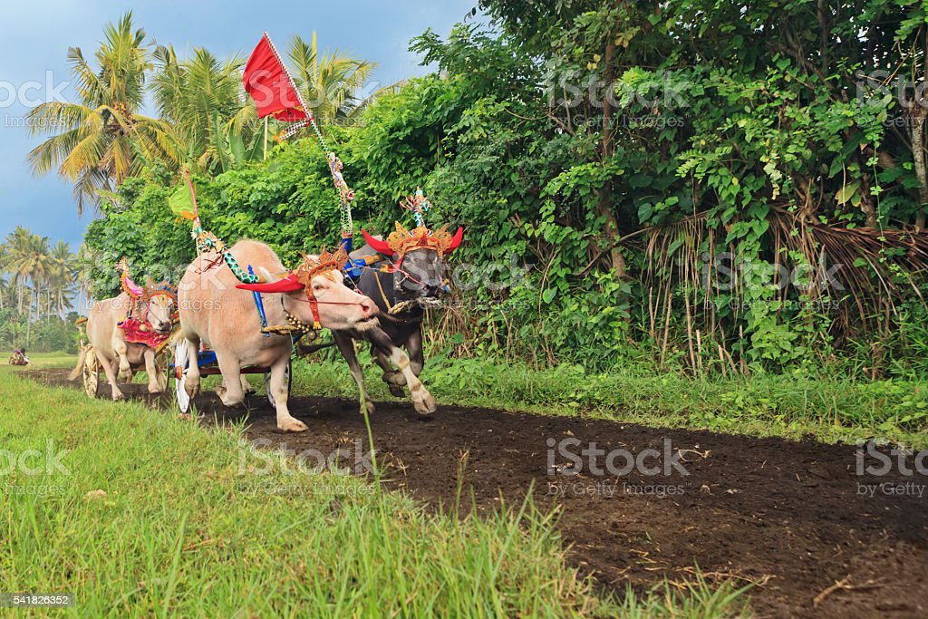 Bulls in action on traditional balinese water buffalo races stock photo