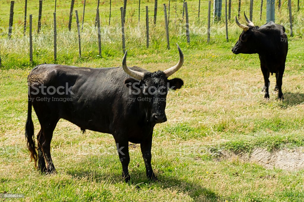 Bulls in Camargue, Rhone delta South of France stock photo