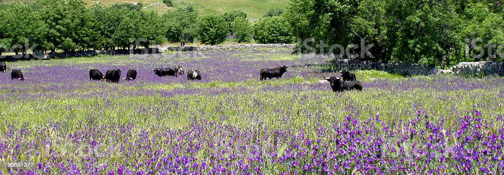 bulls in the country, violet and green royalty-free stock photo
