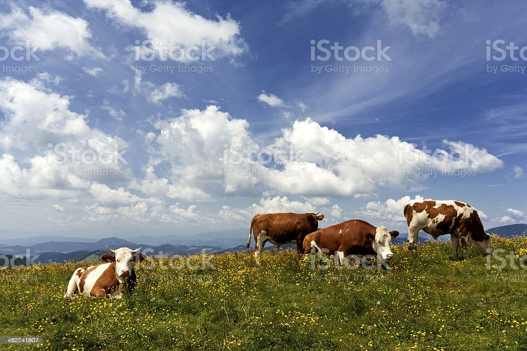 bulls resting in the austrian alps royalty-free stock photo