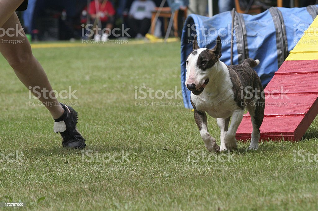 Bullterrier does agility stock photo