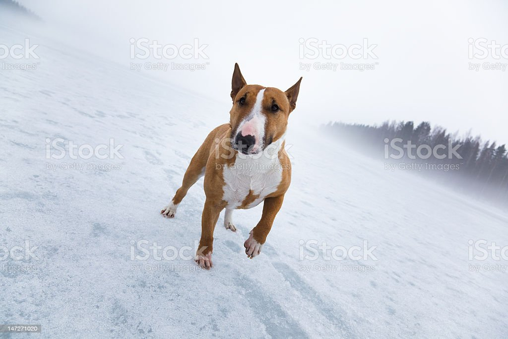 Bullterrier in icy landscape royalty-free stock photo