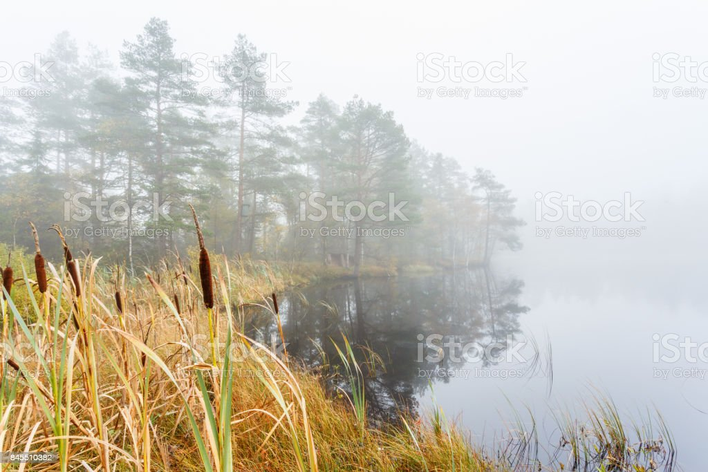 Bulrush at a wetland in fog at a forest lake stock photo