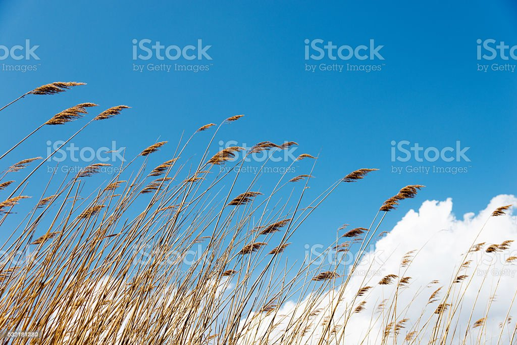 Bulrush in the wind against blue sky stock photo