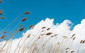 Bulrush in the wind against blue sky