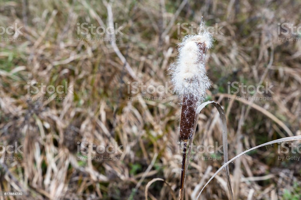 Bulrush plants in the swamp stock photo