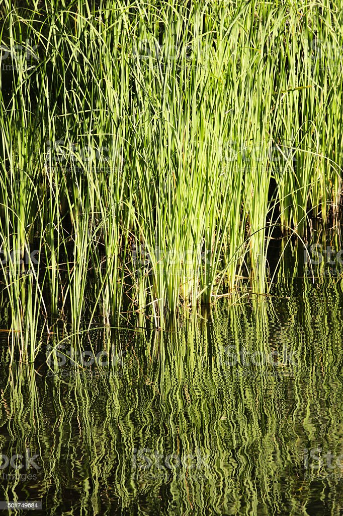Bulrush Reeds Pond Plants stock photo