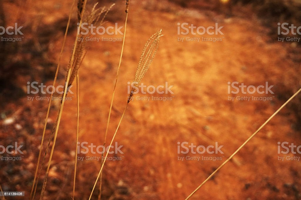 bulrush upon the mud road stock photo