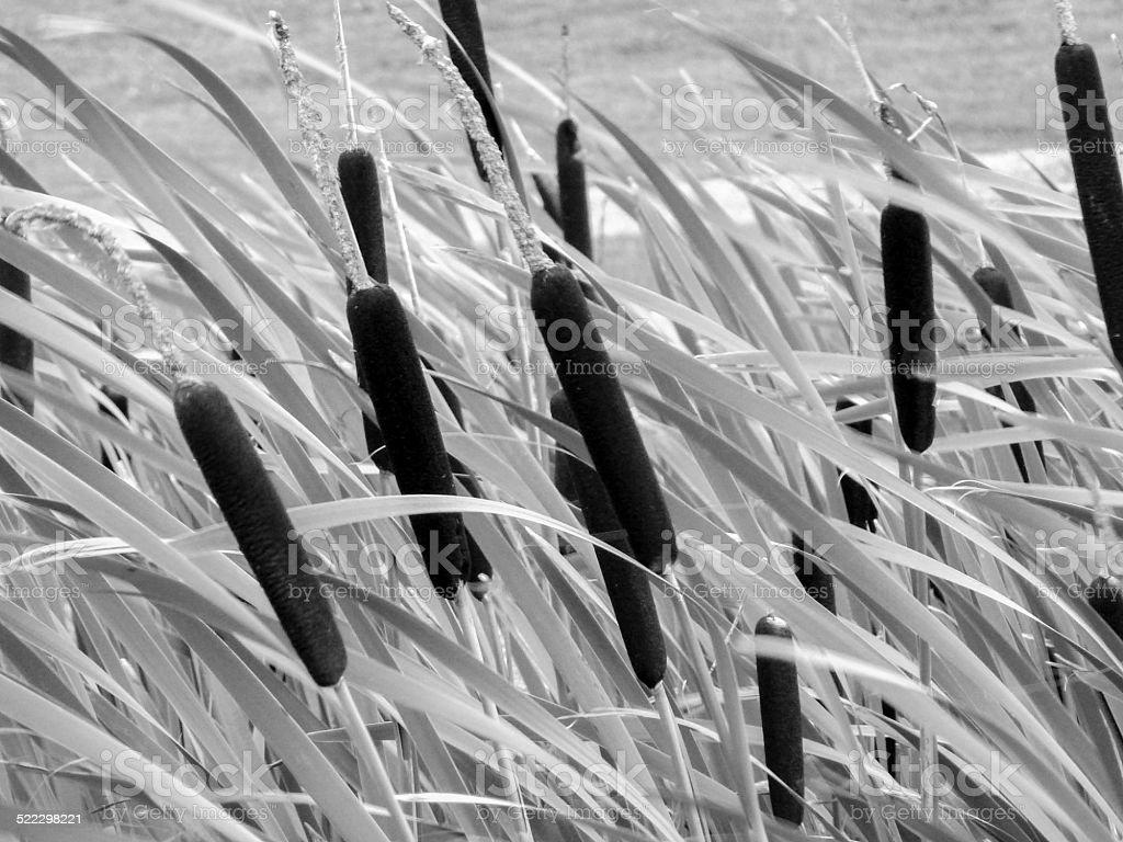 Bulrushes royalty-free stock photo