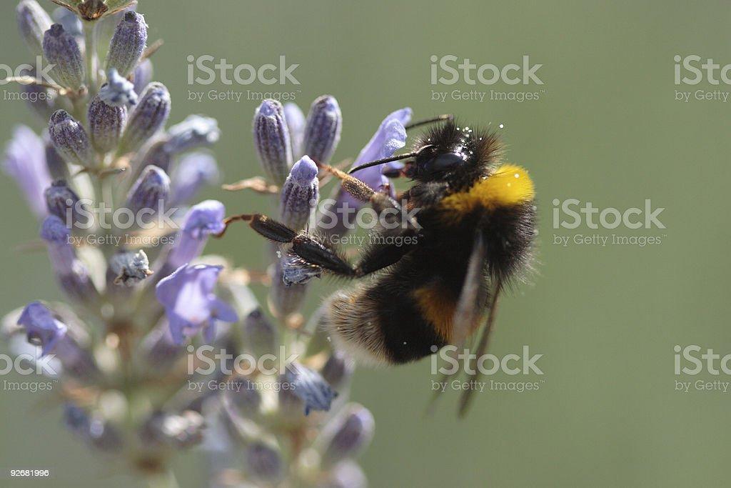 Bumble Bee et à la lavande photo libre de droits