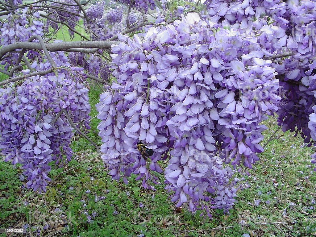 Bumble Bee and Wisteria royalty-free stock photo