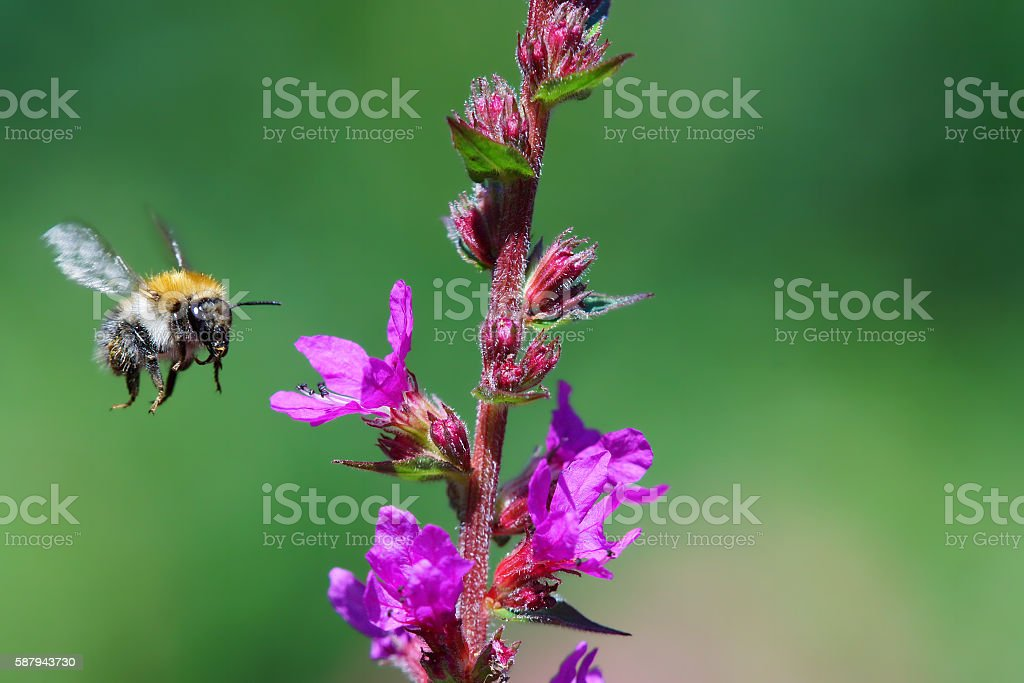 Bumble bee at the fly stock photo