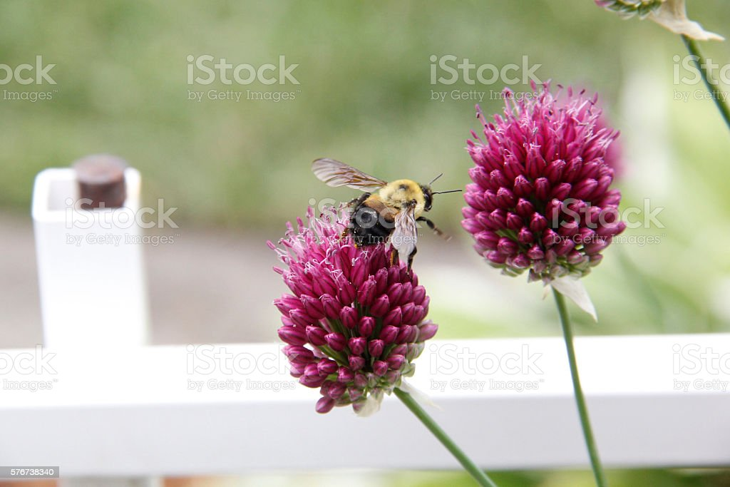Bumble Bee Collecting Nectar on a Red Feather Clover stock photo