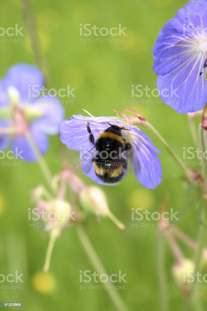 Bumble Bee Collecting Nectar royalty-free stock photo