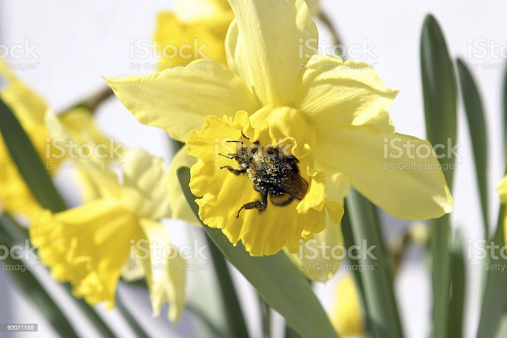 Bumble bee covered in pollen royalty-free stock photo