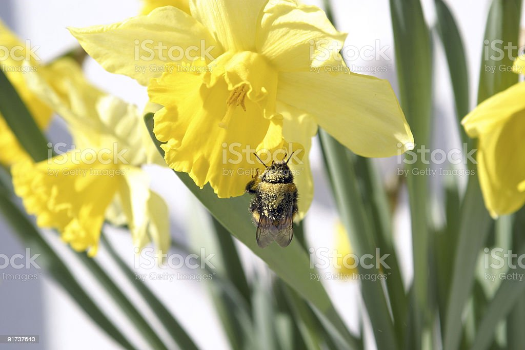 Bumble bee examining a flower royalty-free stock photo