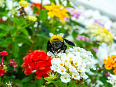 bumble bee find sweet of lantana beauty flower