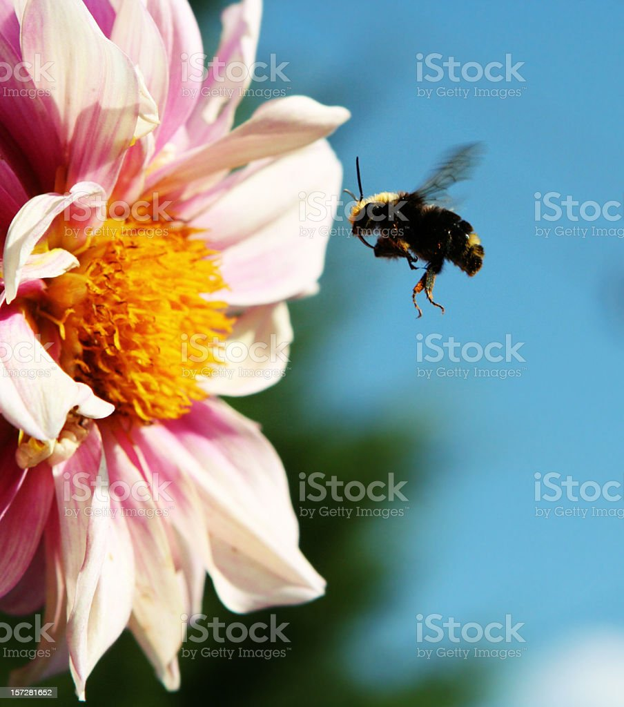 Bumble Bee Flying onto White and Pink Flower royalty-free stock photo