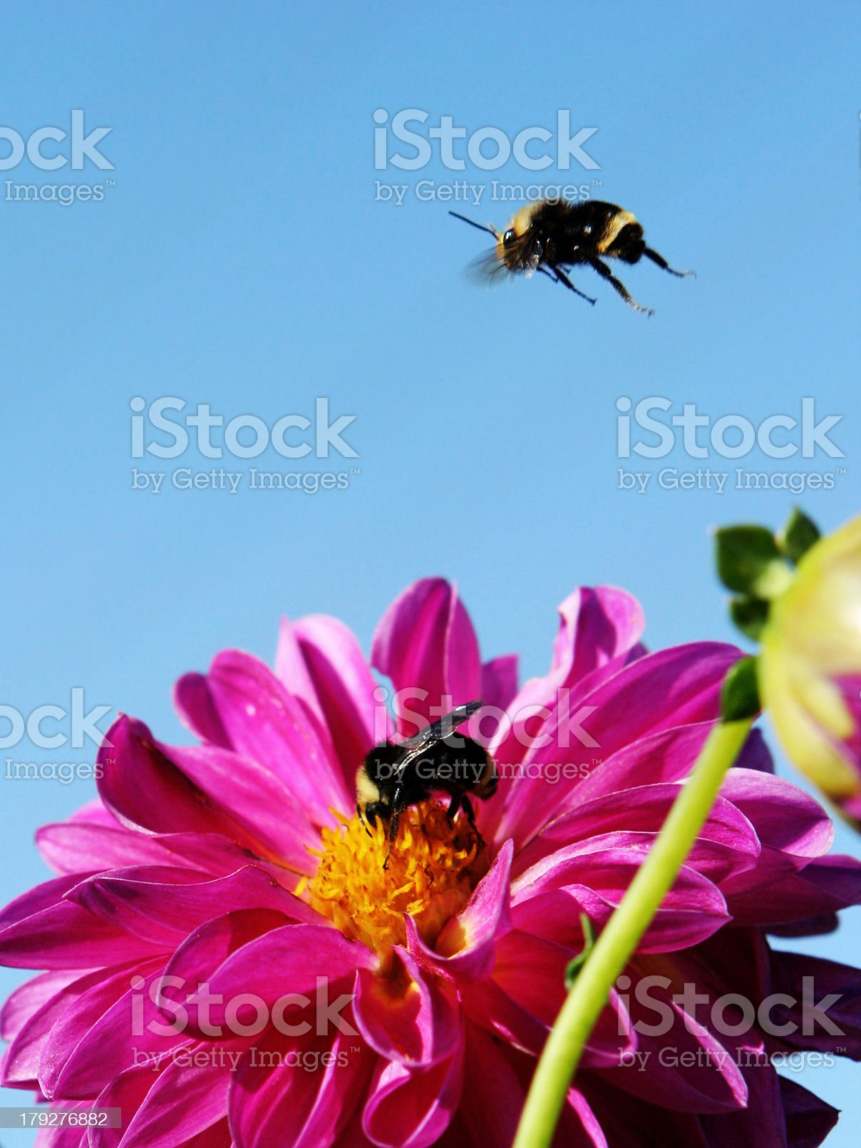 Bumble Bee Flying Over Purple Flower royalty-free stock photo