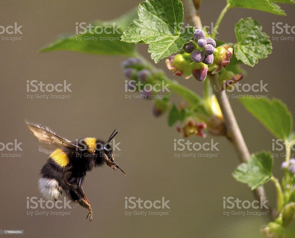 bumble bee flying to flower royalty-free stock photo