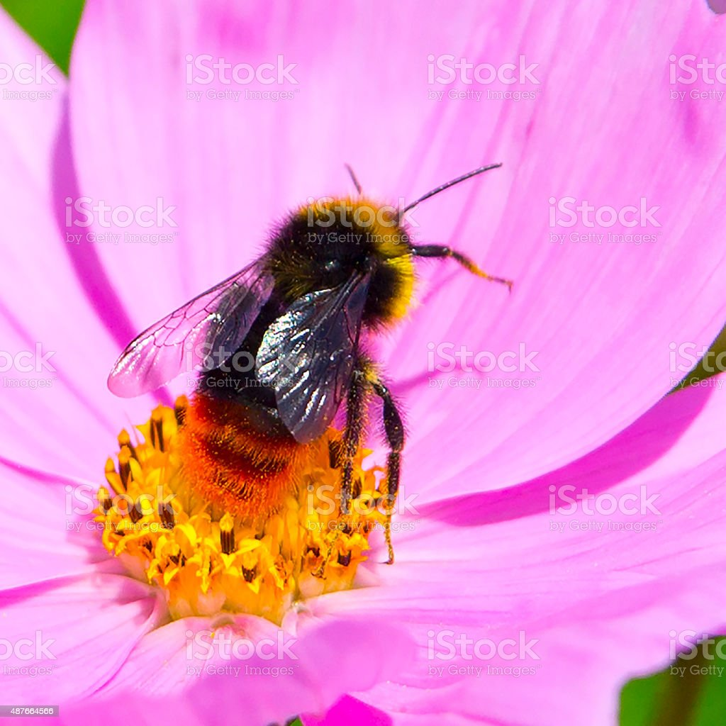 Bumble Bee Images royalty-free stock photo