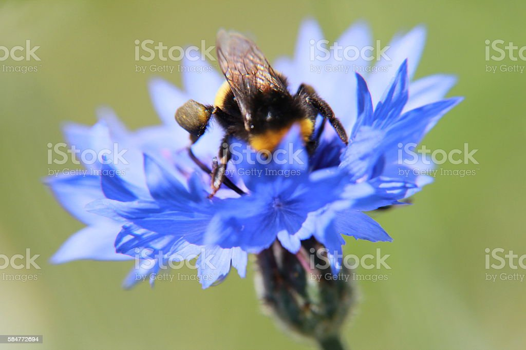 bumble bee in blue corn flower with green background stock photo