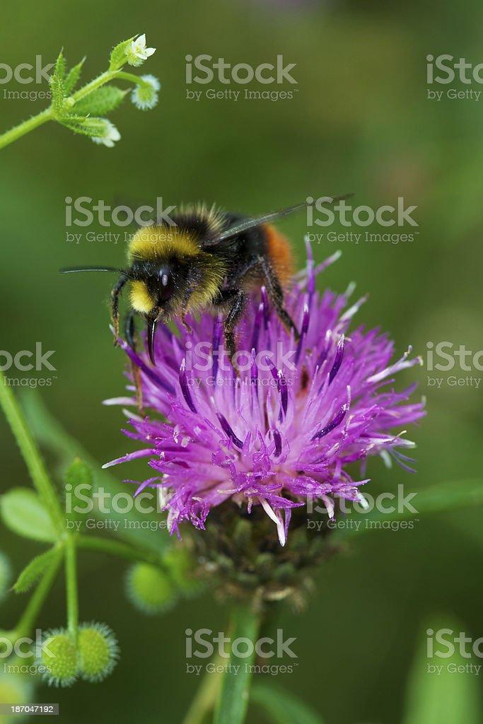 bumble bee landing royalty-free stock photo
