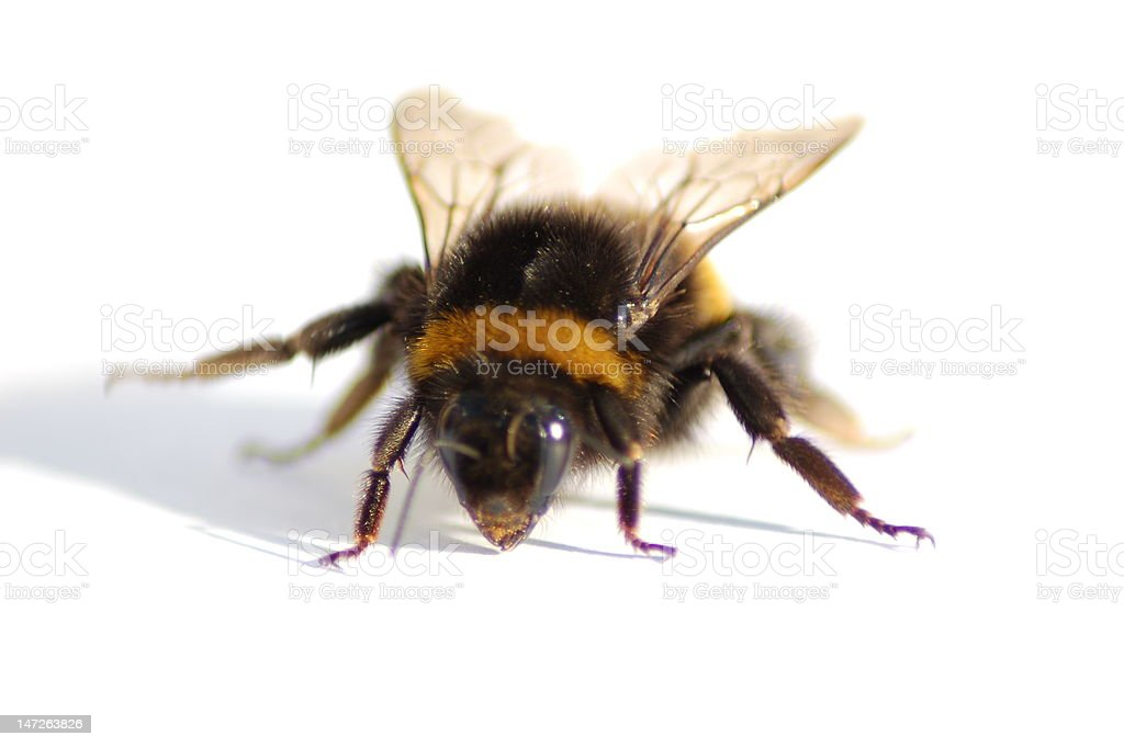 Bumble Bee Macro stock photo
