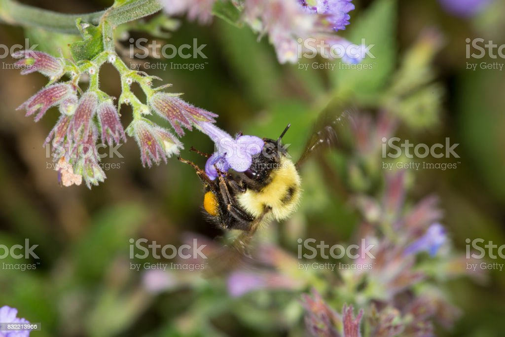 Bumble bee nectaring on mint flowers in South Windsor, Connecticut. stock photo