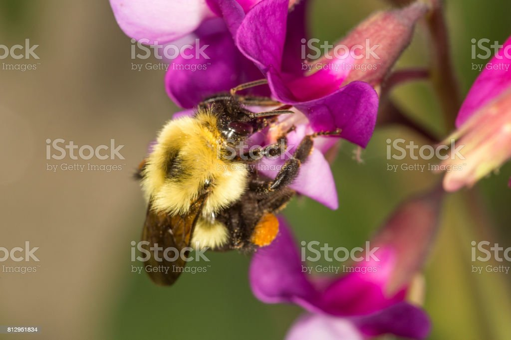 Bumble bee on a beach pea flower in Connecticut. stock photo