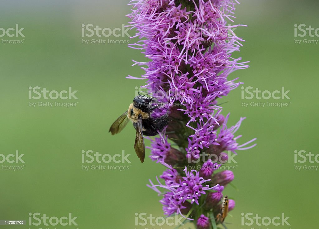 Bumble Bee on a Blazing Star royalty-free stock photo