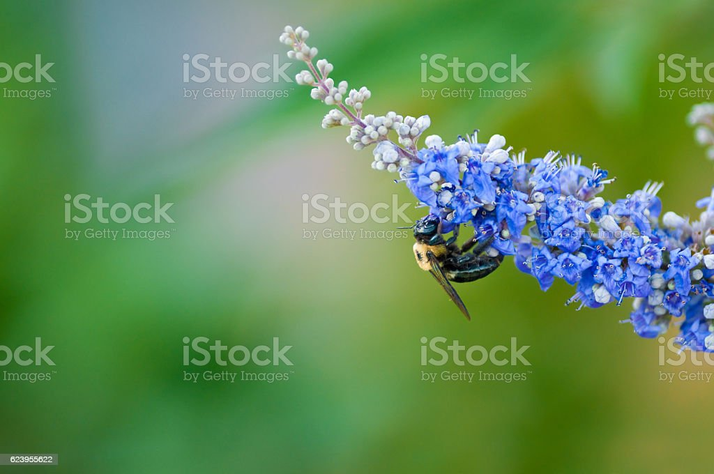 Bumble bee on a chaste vitex tree stock photo