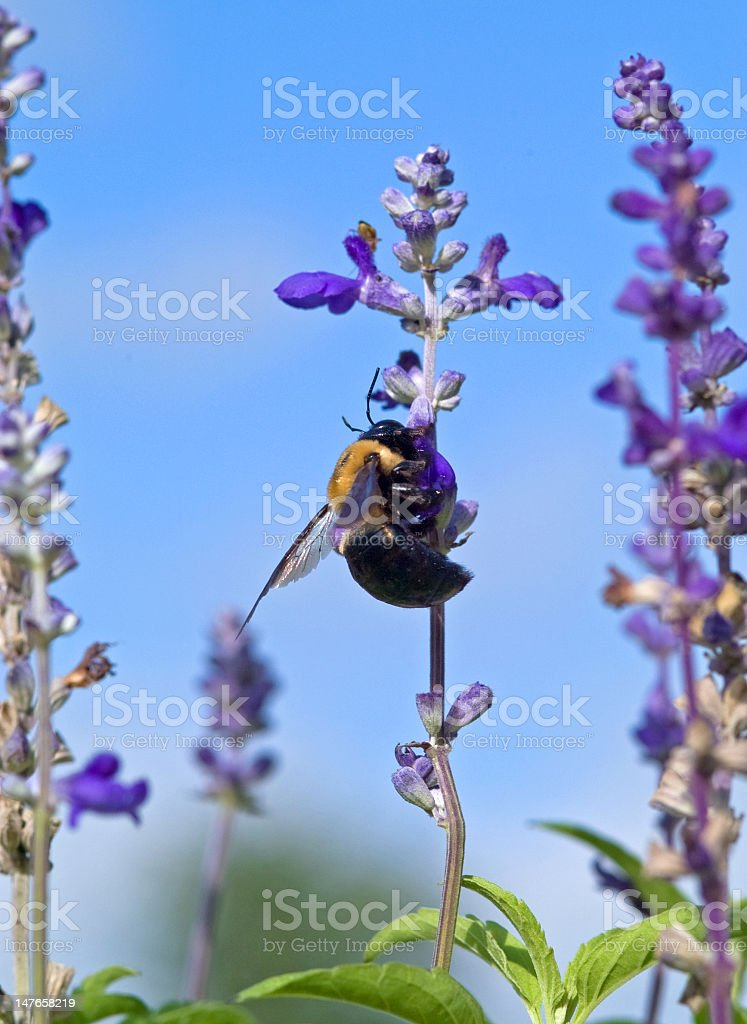 Bumble Bee on A Purple Blossom royalty-free stock photo