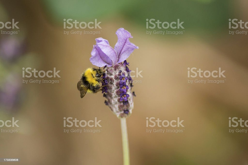 Bumble Bee on a Purple Flower Collecting Pollen royalty-free stock photo