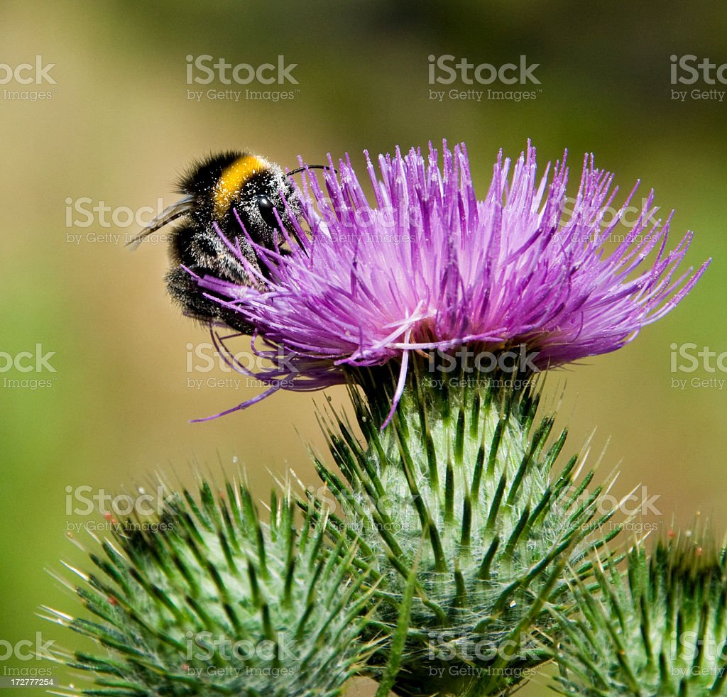 Bumble Bee on a Thistle stock photo