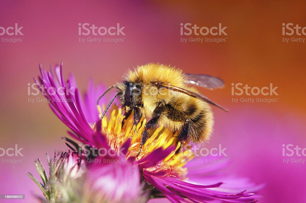 Bumble bee on aster royalty-free stock photo