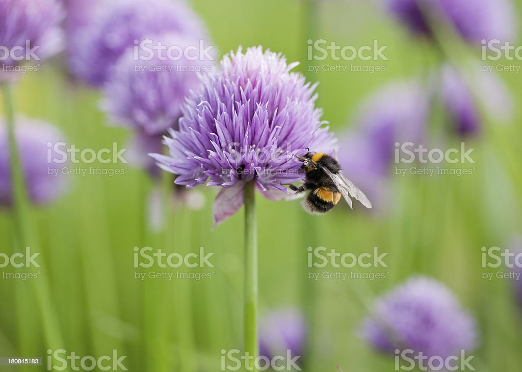 Bumble bee on chive flower royalty-free stock photo