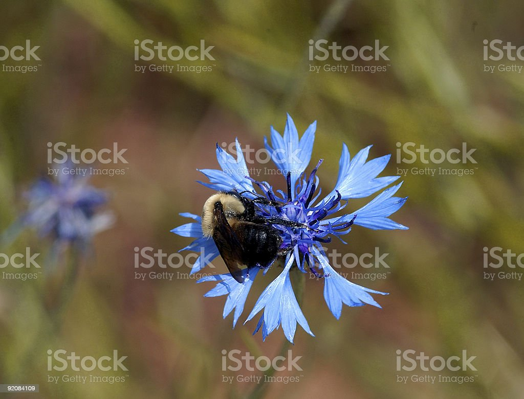bumble bee on cornflower royalty-free stock photo
