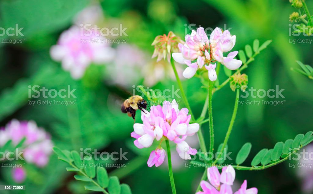 Bumble Bee on Crown Vetch Flower stock photo