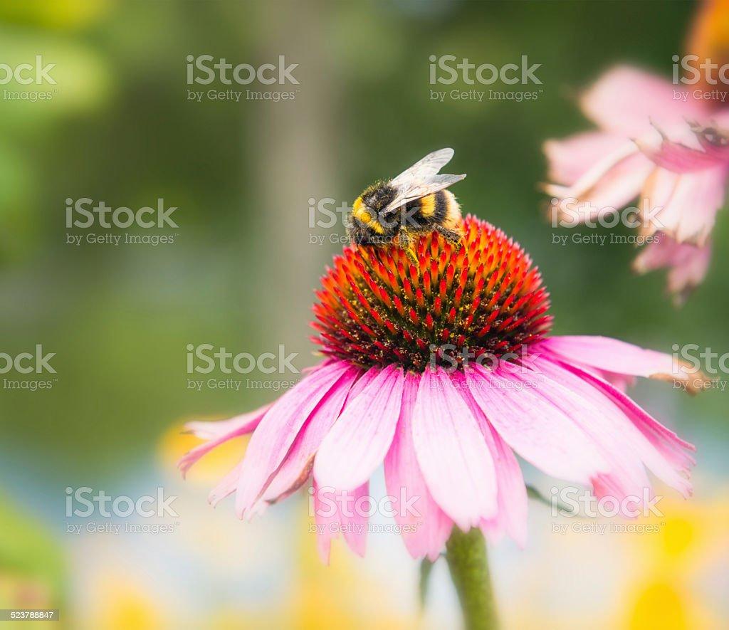 Bumble bee on Echinacea flower stock photo