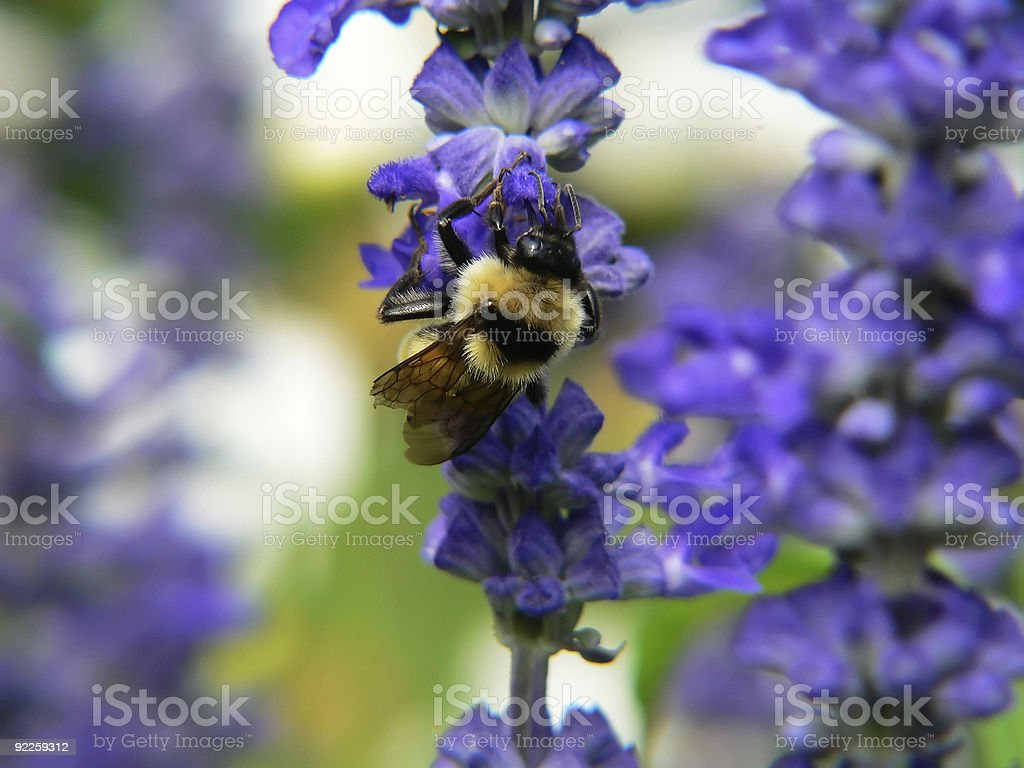 bumble bee on purple flower royalty-free stock photo