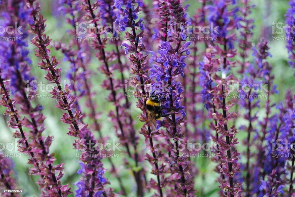 Bumble Bee on Purple Flowers stock photo