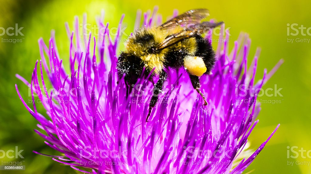 Bumble Bee on Thistle Flower stock photo