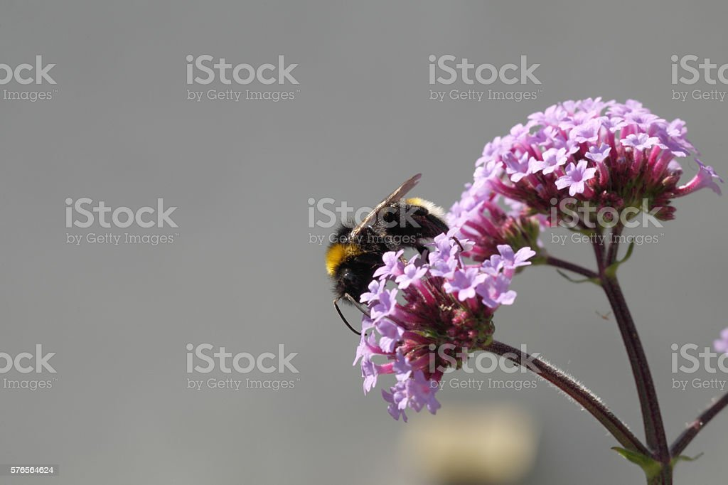 Bumble bee on verbena. stock photo