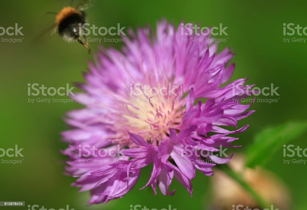 bumble bee over violet flower stock photo
