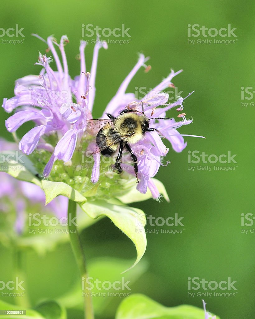 Bumble Bee royalty-free stock photo