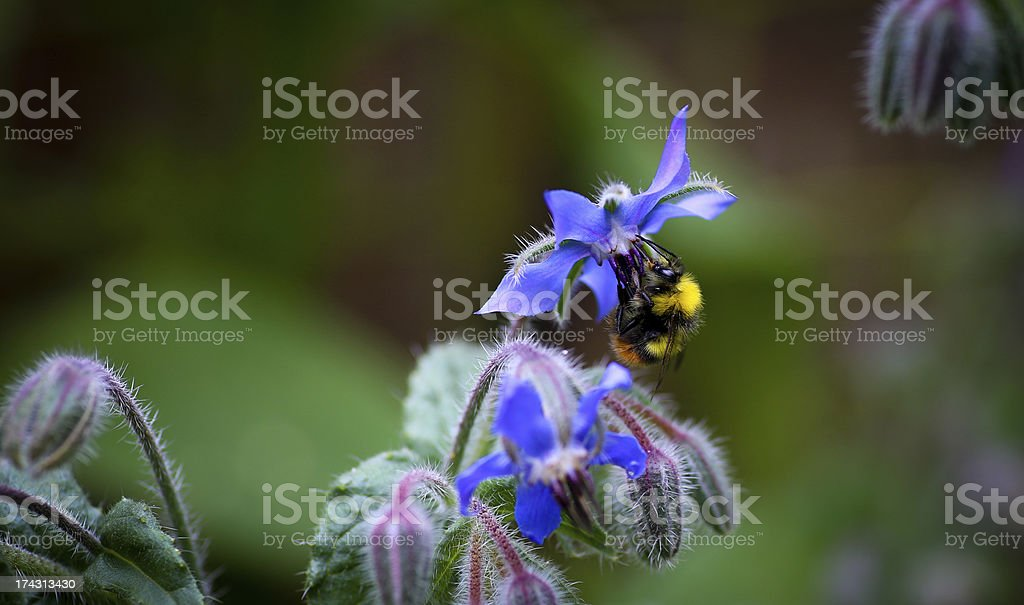 Bumble Bee pollinating Starflower (Borago officinalis) royalty-free stock photo