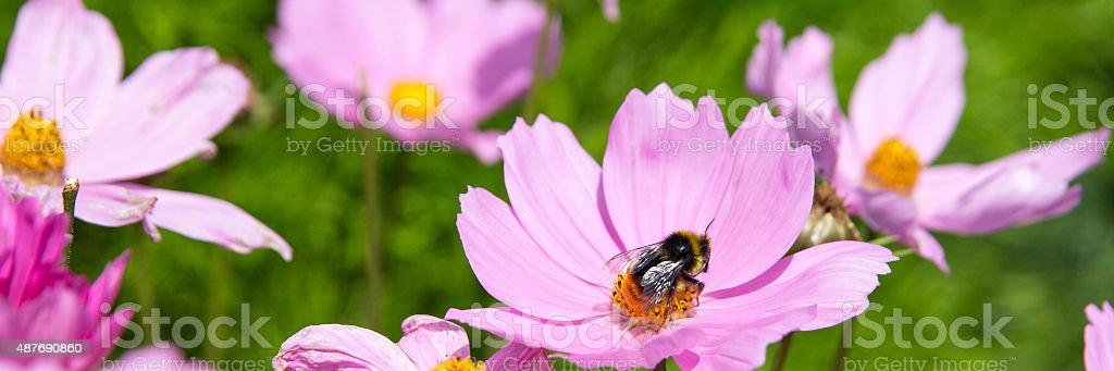 Bumble Bee Pollinator on Flower Petal.  Panoramic Crop royalty-free stock photo