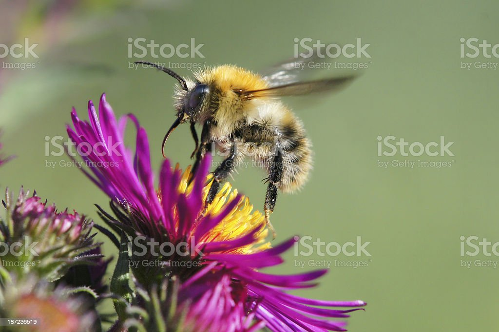 Bumble bee start to fly royalty-free stock photo