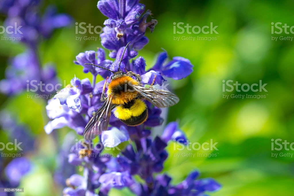 Bumble bee sucking nectar of flowers royalty-free stock photo